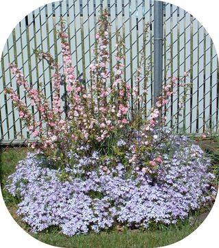 Flowering Almond 2007