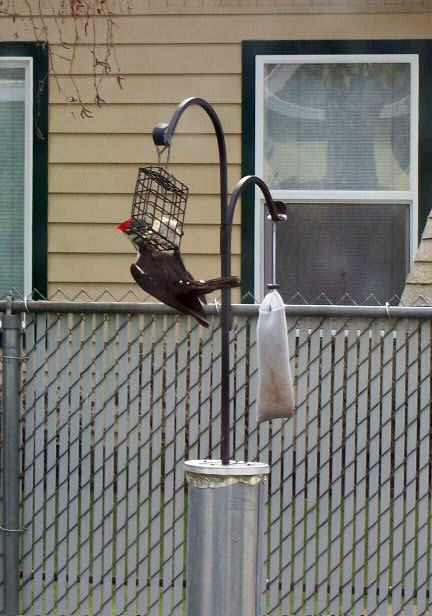 Pileated 16 March 2012