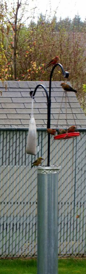 Tanagers in Kitsap