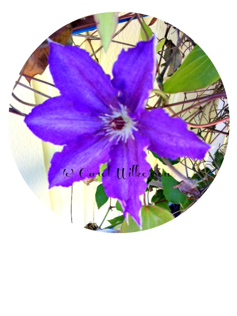 Our Clematis