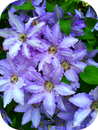 Clematis rounded