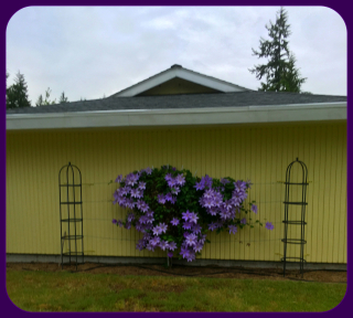 Clematis with frame